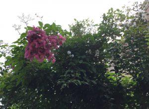 沿道にはサルスベリの花が