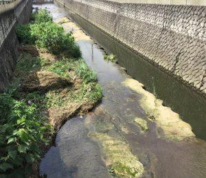仙川にはいると上総層が見られます。水は少なく、綺麗になってます。